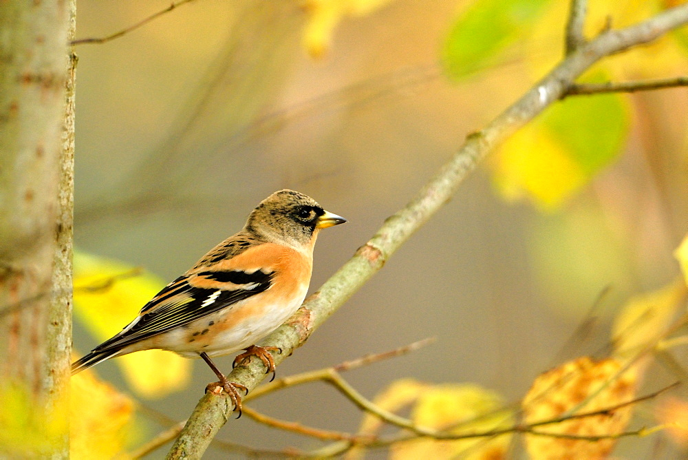 Brambling male on a branch north, Finland