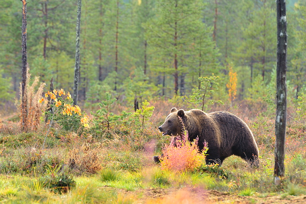 Brown bear walking in a clearing in the fall, Finland