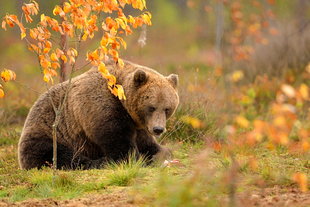 Brown bear in a clearing in the fall, Finland
