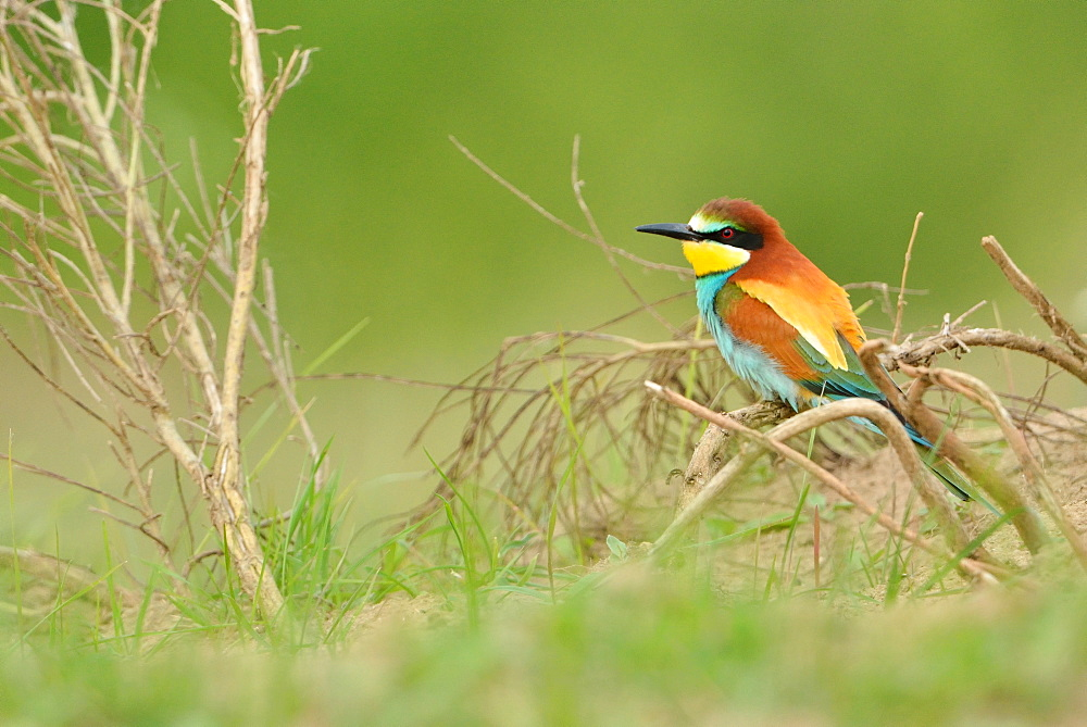 European bee-eater on a branch, Loire Valley France