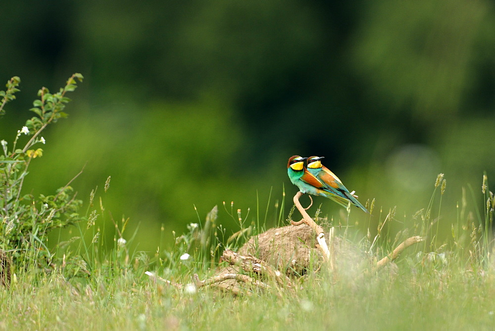 European bee-eaters on a branch, Loire Valley France