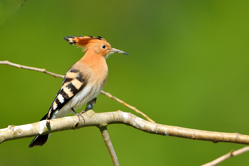 Eurasian Hoopoe on a branch, Loire Valley France