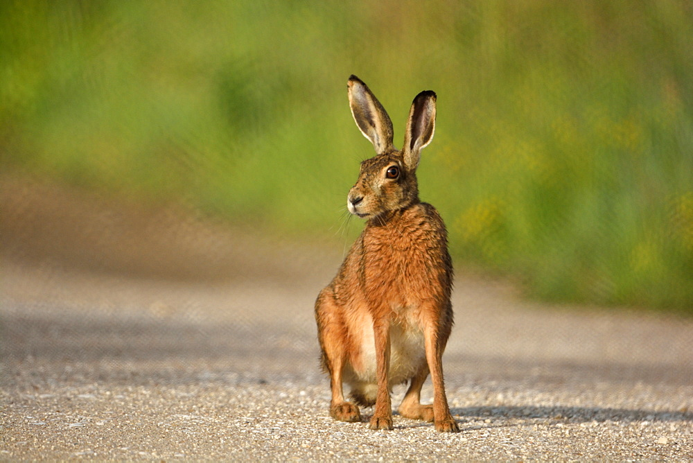Brown Hare on a path, Loire Valley France