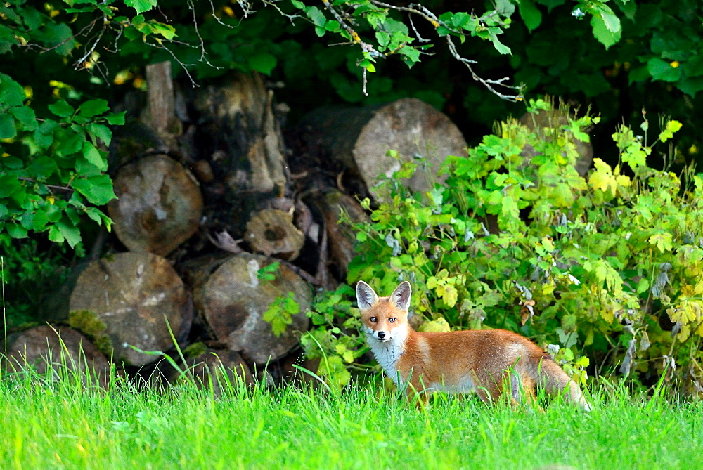Red fox near the forest, Burgundy France