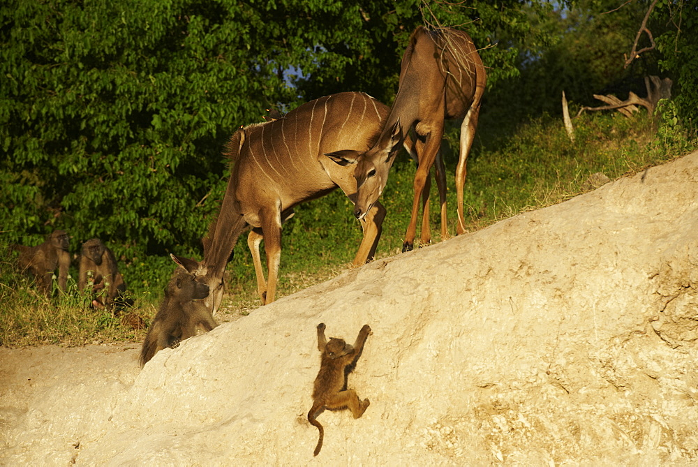 Great Kudu female and Chacma Baboons, Botswana