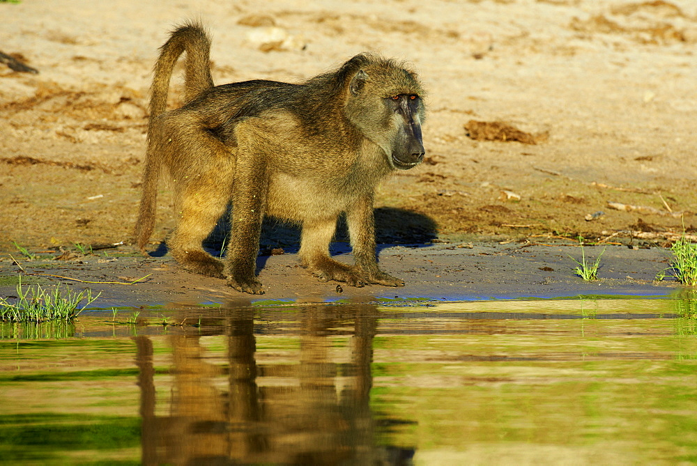 Chacma baboon drinking on bank at dawn, Chobe Botswana