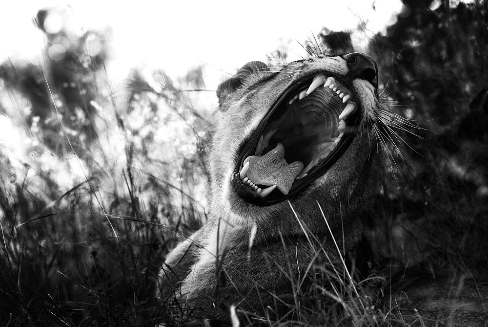 Portrait of Lion male open mouth, Botswana
