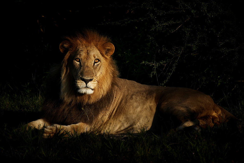 Male lion lying in savannah at dawn, Botswana