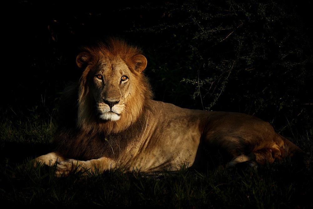Male lion lying in savannah at dawn, Botswana