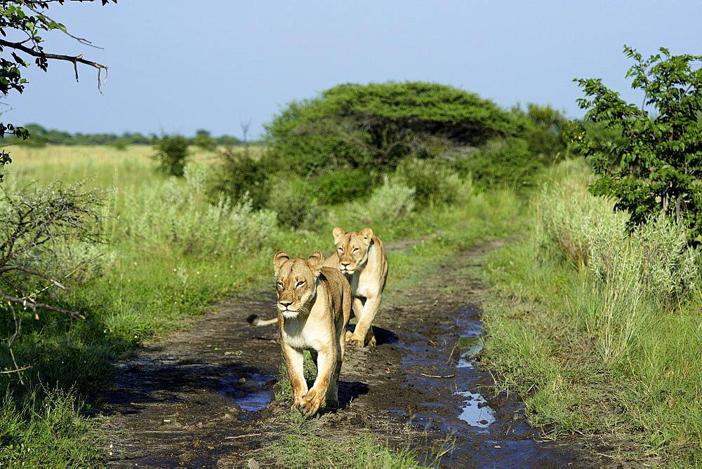 Lioness walking on a track at dawn, Kalahari Botswana