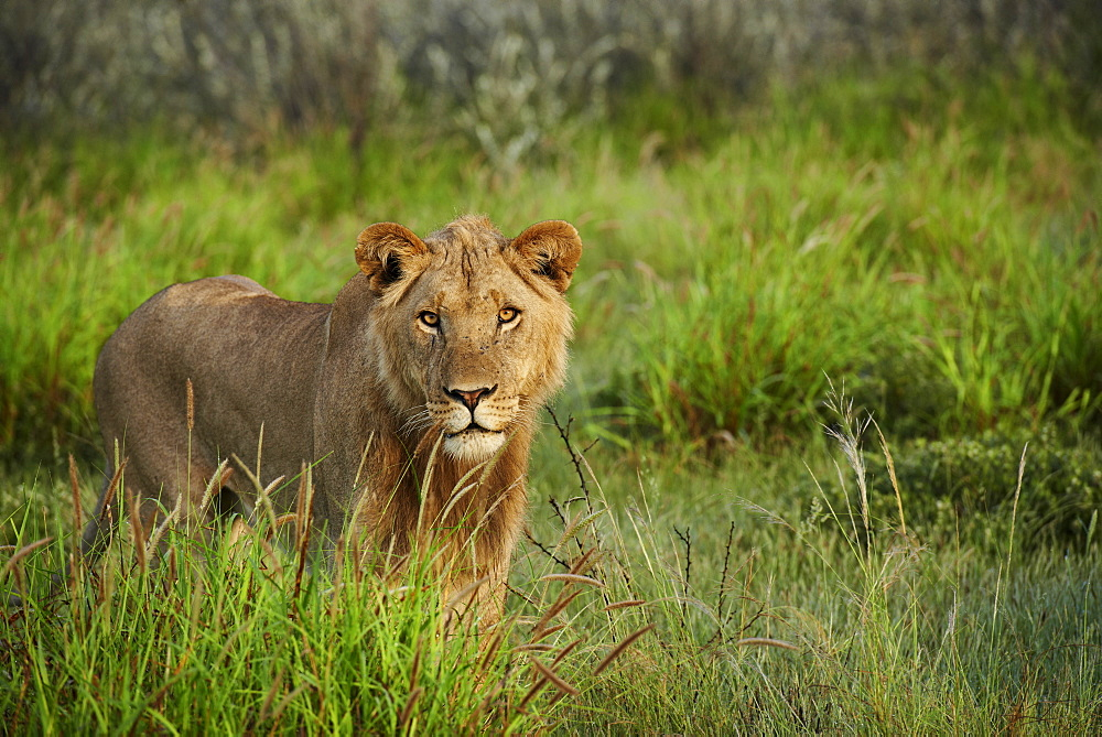 Sub adult male lion in the tall grass, Kalahari Botswana