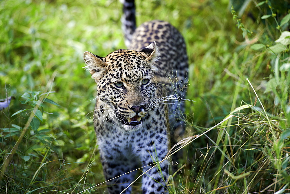 Leopard in the tall grass, Okavango Botswana