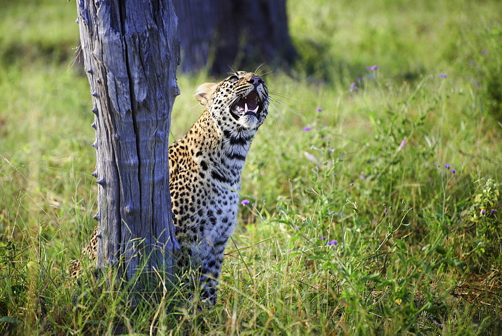 Leopard observing Guinea fowl on tree, Botswana Okavango