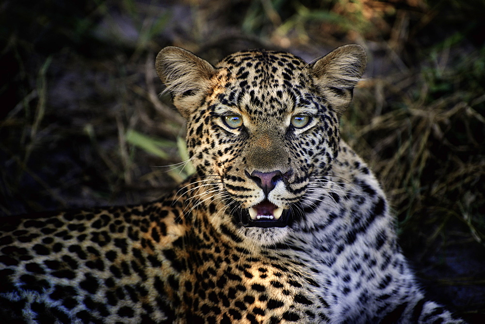 Portrait of female Leopard, Botswana Okavango