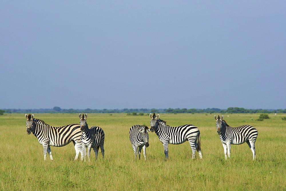 Burchell's zebras, Kalahari Botswana