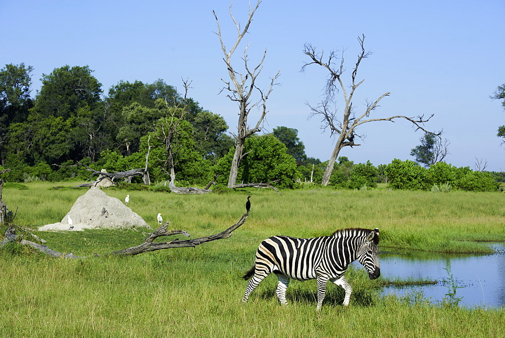 Burchell's zebra at the watering, Botswana