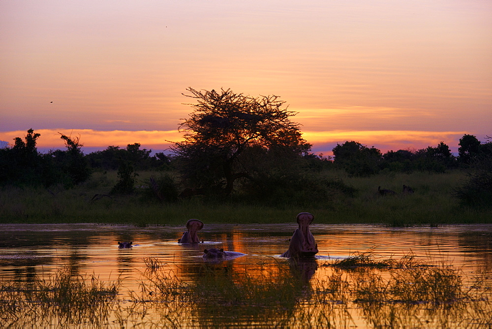 Hippos in the water at sunset, Okavango Botswana