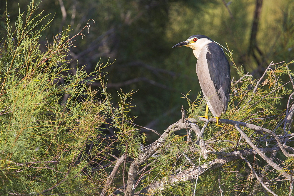Night heron on a branch, Camargue France