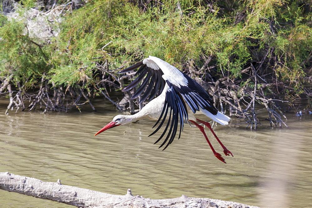 White stork flying over water, Camargue France