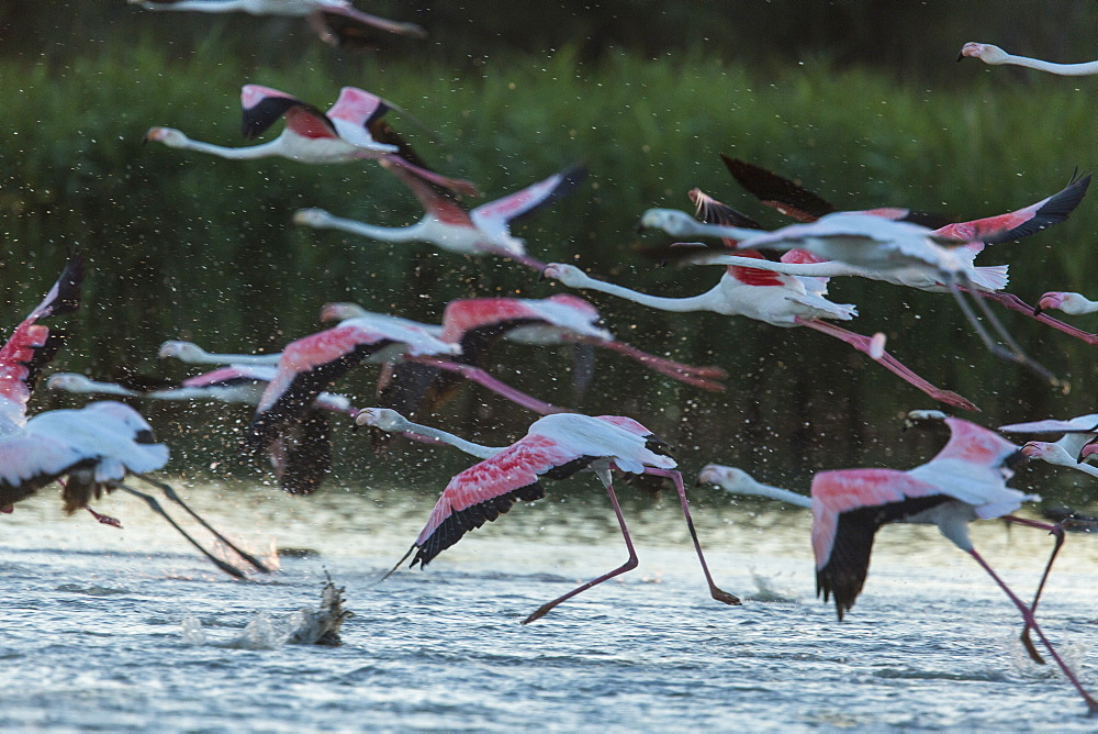 Rosy Greater Flamingos flying away, Camargue France