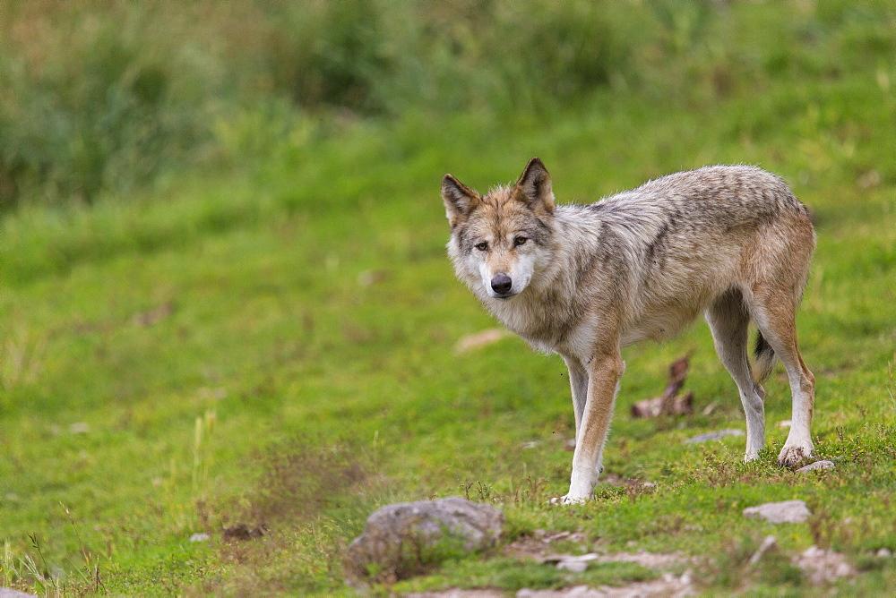 Eurasian Tundra Wolf, Wolf Park of Gevaudan France