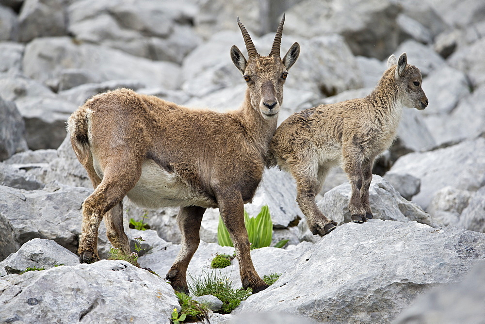 Alpine Ibex female and young, Alps Valais Switzerland