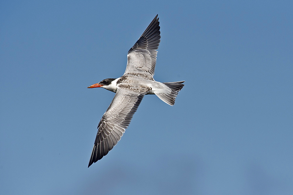 Caspian Tern in flight, Denmark