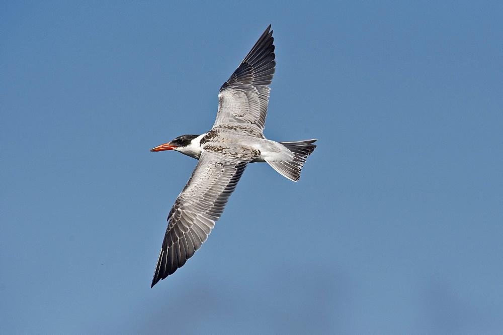 Caspian Tern in flight, Denmark