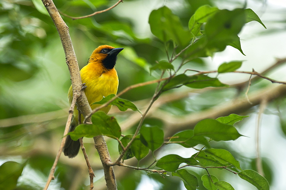 Black-necked weaver on a branch