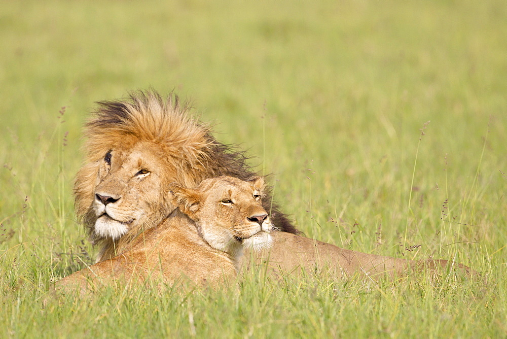 Lion couple lying in the bush, Masai Mara Kenya
