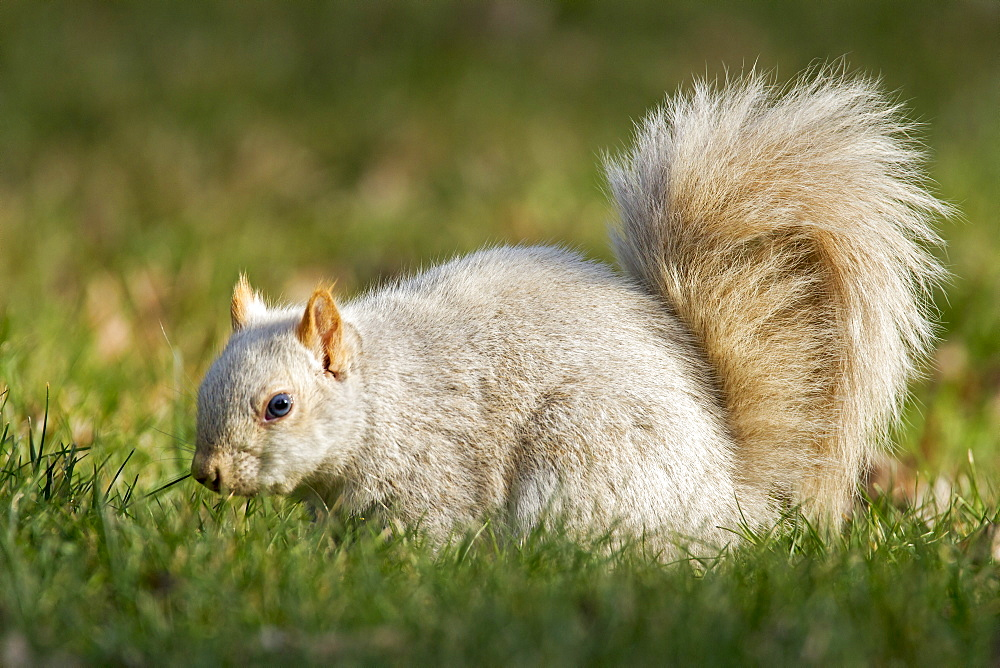 Grey squirrel is the white phase, Quebec Canada