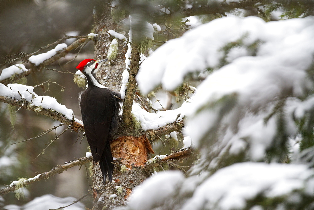 Pileated Woodpecker on a tree trunk in winter, Quebec Canada