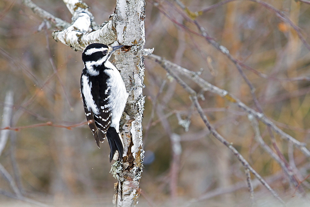 Hairy Woodpecker female on a tree trunk, Quebec Canada