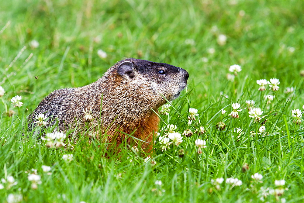 Woodchuck on grass, Quebec Canada
