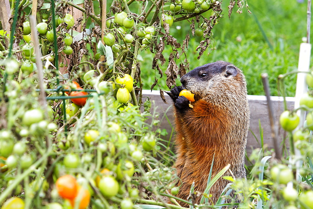 Woodchuck eating in kitchen garden, Quebec Canada