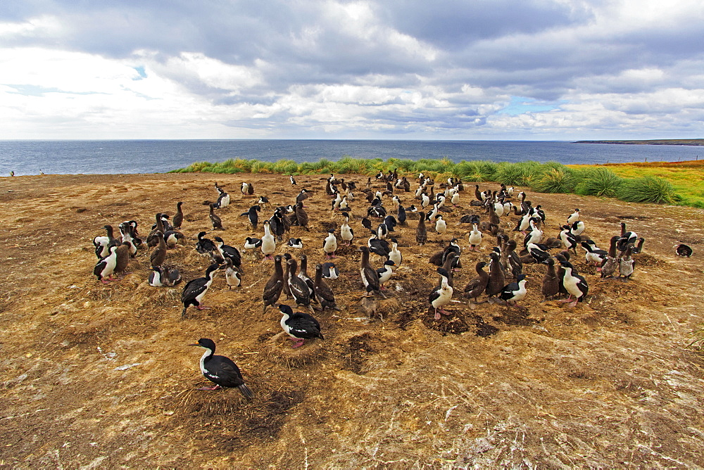 Colony of King Shags, Falkland Islands