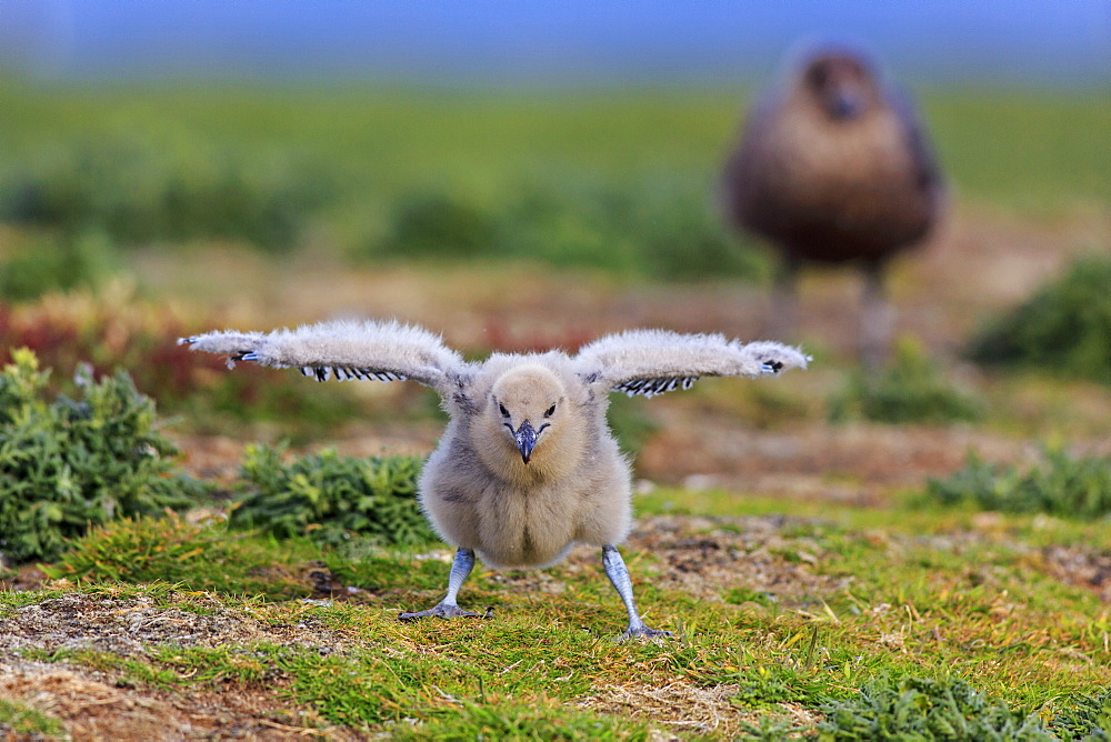 Southern skua and chick on ground, Falkland Islands