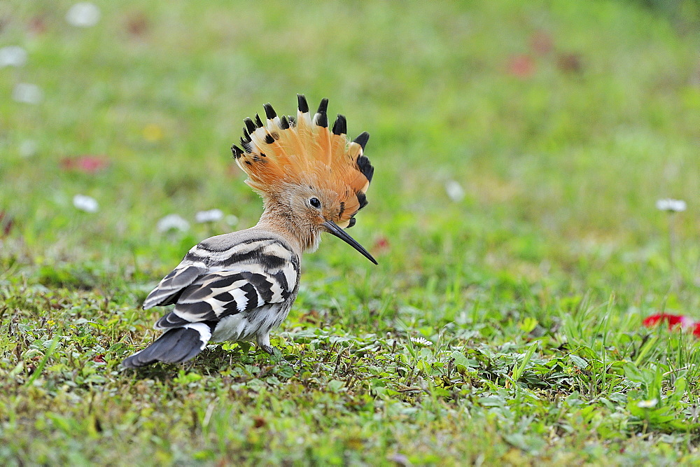 Hoopoe in the grass in a garden, France