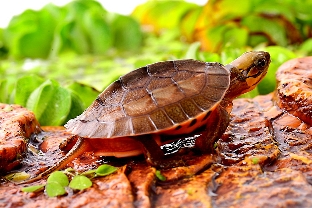 Young Chinese Three-striped Box Turtle profil shot