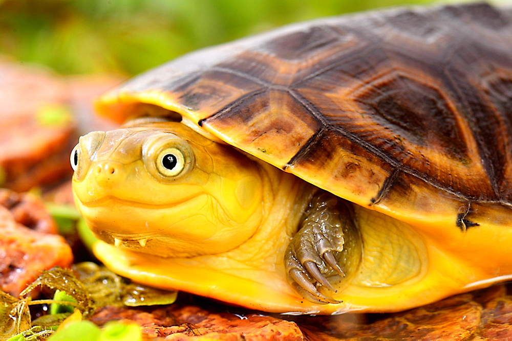 Portrait of young Gabon Mud Turtle