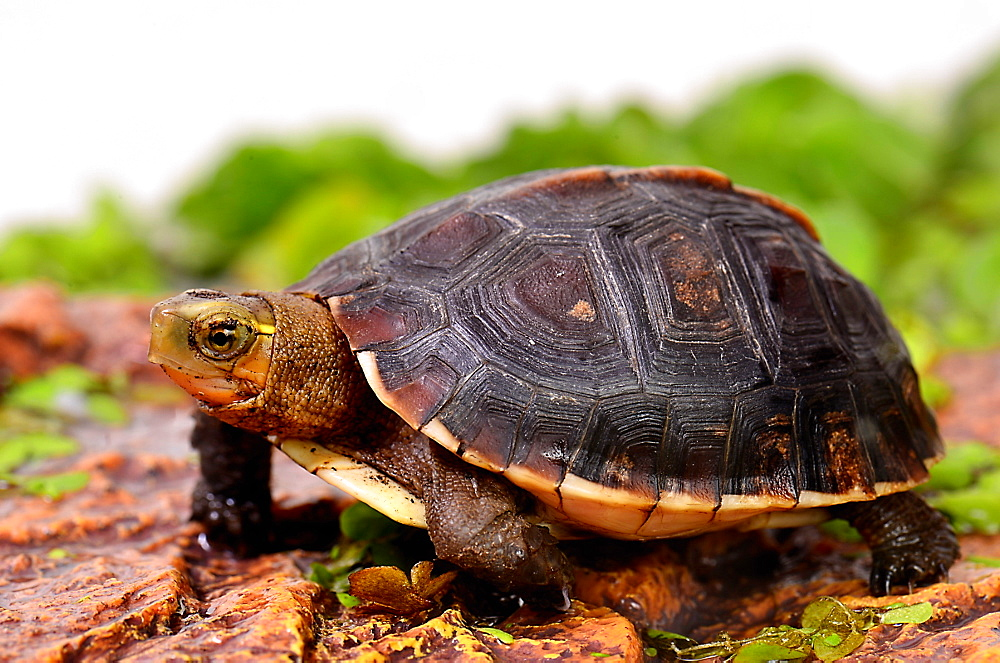Young Yellow-margined Box Turtle three-quarter sht