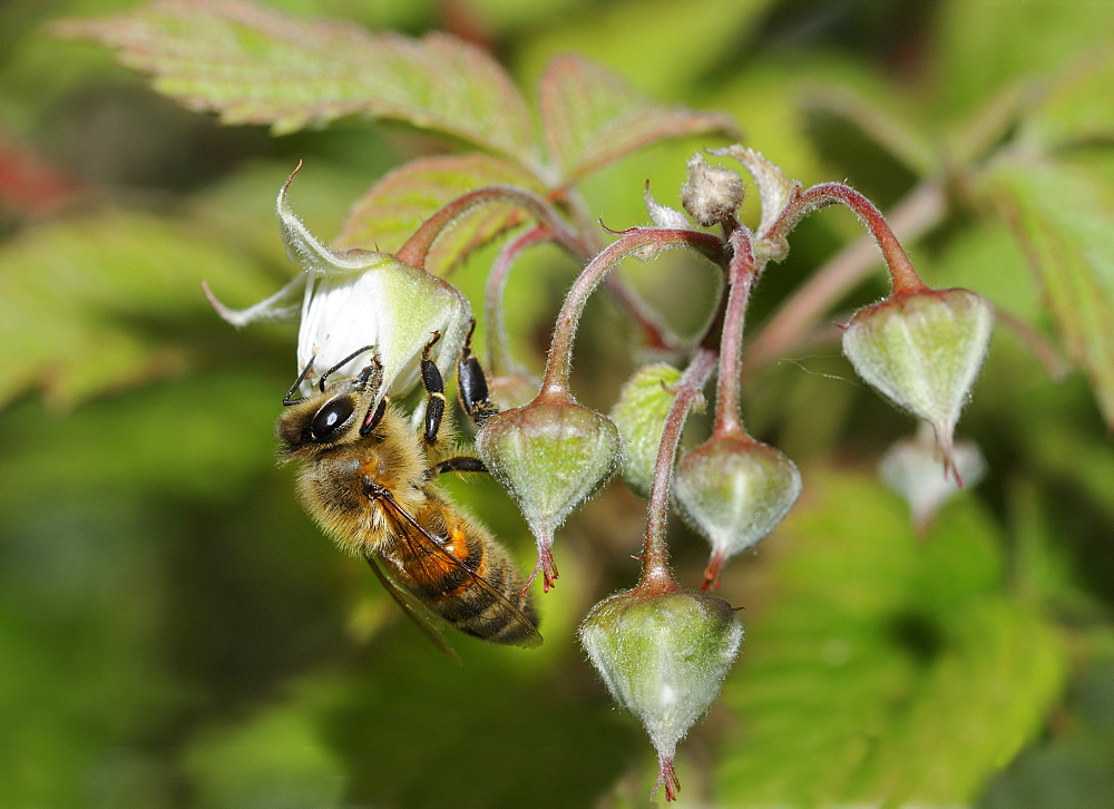 Honeybee on flower Raspberry, Northern Vosges France