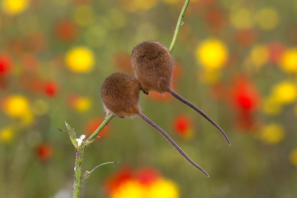 Harvest Mouse among flowers in summer, GB