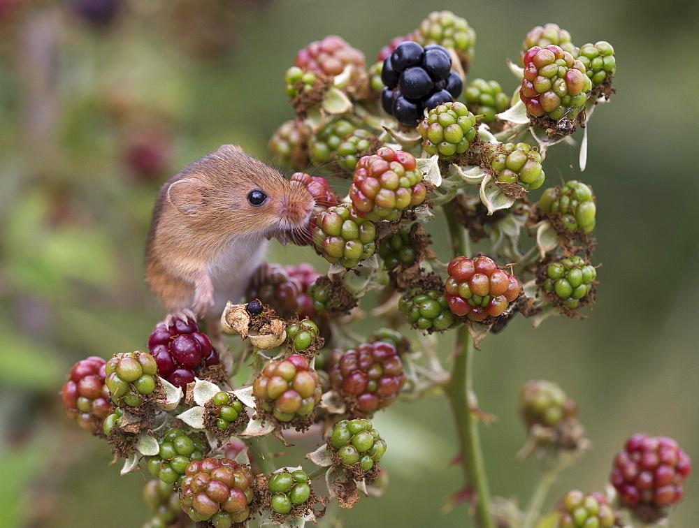 Harvest Mouse on blackberries in summer, GB