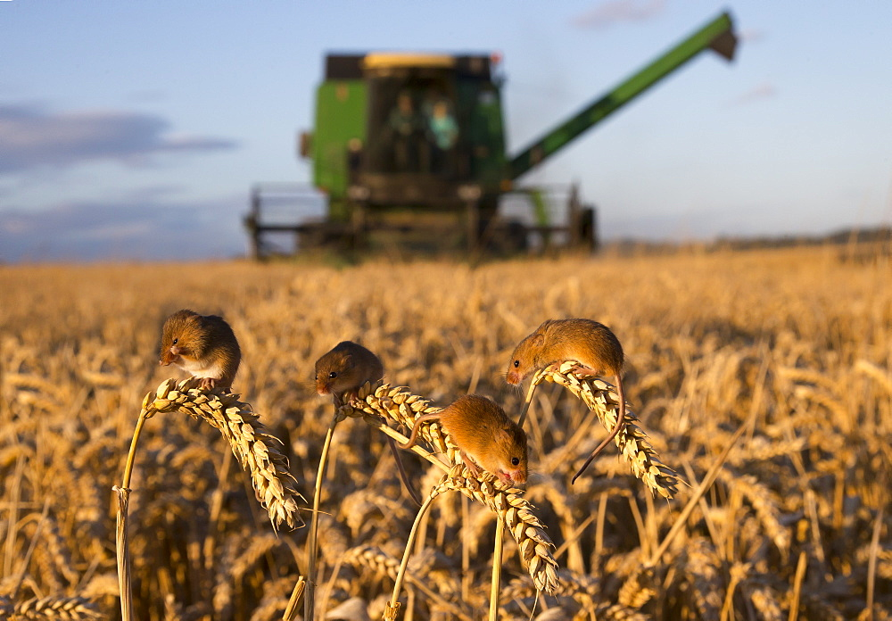 Harvest Mouses on wheat in summer, GB