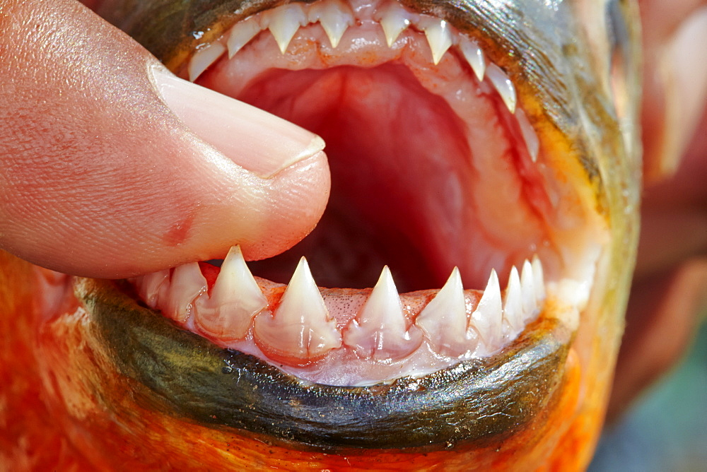 Red-bellied Piranha teeth, Rio Ipixuna Brazil Amazon