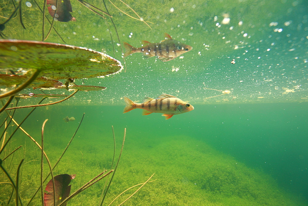European Perch in a backwater of the River Ain, France