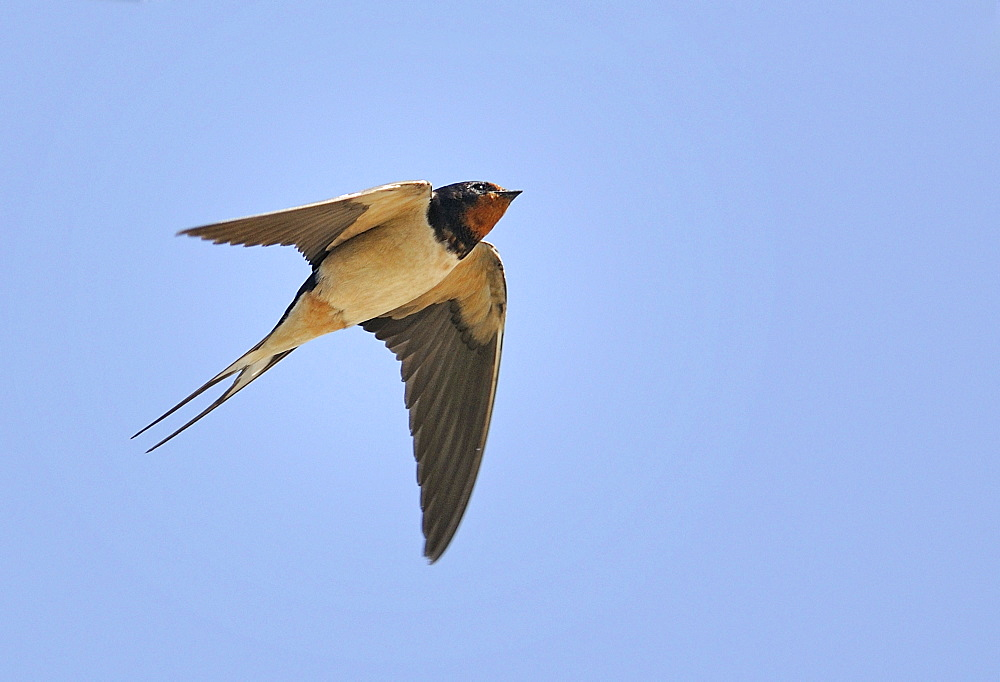 Barn Swallow in flight, PNR Northern Vosges France