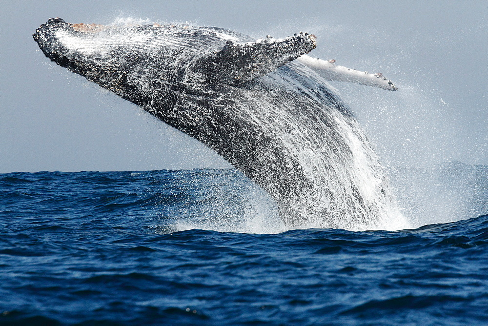 Humpback whale jumping out of water  in South Africa