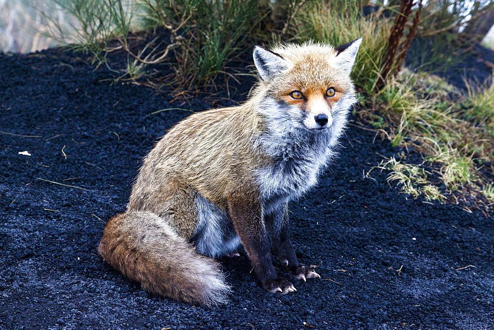 Red fox on Etna volcano slope in Sicily, Italy